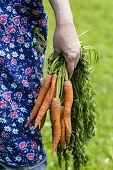Womans Hand With Harvested Carrots