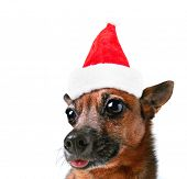 a wide angle shot of a dog's face on a white background with a santa hat on for christmas