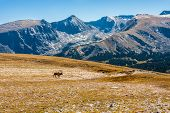 Bull Elk in Rocky Mountain National Park