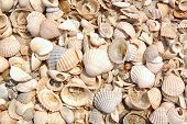 Seashels Background With Sand