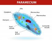 picture of protozoa  - Structure of a paramecium caudatum - JPG
