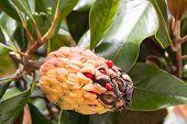 The Magnolia tree  fruit