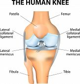 Human Knee joint anatomy. Vector