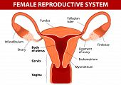 ������, ������: Female reproductive system