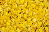 Fallen Ginkgo Biloba Leaves In Autumn