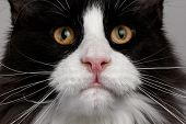 Closeup Black And White Maine Coon Cat With Pink Nose