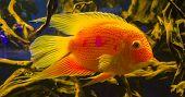 aquarium fish Cichla ocellaris nature exotic  animal