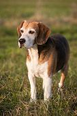 stock photo of foxhound  - Beagle on meadow - JPG