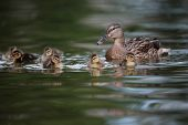 Mallard female with ducklings on lake