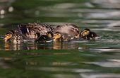 Mallard ducklings on lake