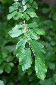 Branch of a Persian Ironwood (lat. Parrotia persica)