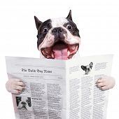 Funny french bulldog reading newspaper over white