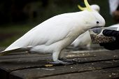 Feeding cockatoo
