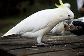 Feeding cockatoo