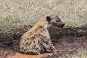 stock photo of hyenas  - hyena is observing the situation in the savanna - JPG