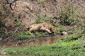 picture of african lion  - African lion while is drinking water from a hole - JPG