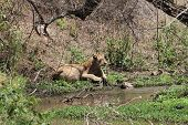 pic of african lion  - African lion while is drinking water from a hole - JPG