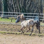 picture of galloping horse  - A horse pony galloping in the fence - JPG