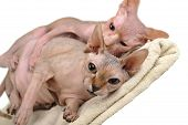 image of bald headed  - two egyptian bald cats on white background - JPG