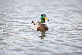 foto of male mallard  - mallard male swimming on a lake - JPG