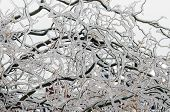 stock photo of freezing  - Twigs of tree encased in ice after a freezing rain storm