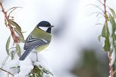 stock photo of tit  - Parus major - JPG