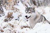 picture of husky sled dog breeds  - siberian husky dog gray and white winter portrait - JPG