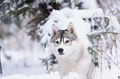 stock photo of husky sled dog breeds  - siberian husky dog gray and white winter portrait - JPG