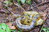 picture of rainforest  - A coiled up yellow anaconda seen deep in the Amazon rainforest in Peru - JPG