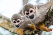 stock photo of rainforest animal  - View of two squirrel monkeys looking at the camera with on in focus and one out of focus in the Amazon rainforest in Colombia - JPG