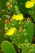 Beautiful Flowers And Green Buds On The Fleshy Green Cactus Leaves.