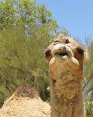 foto of dromedaries  - A portrait of a Arabian camel or Dromedary with a facial expression in Australia - JPG