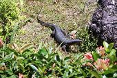 stock photo of monitor lizard  - monitor lizard on the grass near the stone - JPG