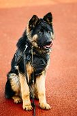 stock photo of sheep-dog  - Young Puppy Black German Shepherd Dog Sitting On Ground - JPG