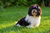 pic of little puppy  - Happy little black and white havanese puppy dog is sitting in the grass - JPG