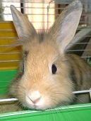 stock photo of rabbit hutch  - Little light brown bunny in its cage  - JPG