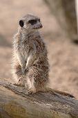 stock photo of meerkats  - photo of an alert meerkat sitting on a log - JPG