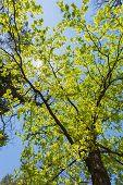 stock photo of canopy  - Spring Summer Sun Shining Through Canopy Of Tall Trees - JPG