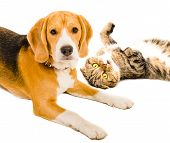 Portrait of a cat Scottish Fold  and Beagle dog poster
