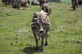 foto of oxen  - Ox in a a erd of cows on a meadow in Bavaria Germany - JPG