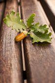 Oak Acorn And Leaves