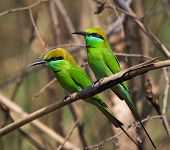 Two Little Green Bee Eaters.