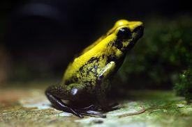 stock photo of poison arrow frog  - Golden poison frog  - JPG