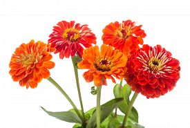 pic of zinnias  - bouquet of red zinnia flowers isolated on white background - JPG
