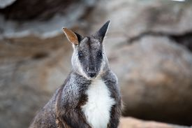 stock photo of wallabies  - Swamp wallaby (Wallabia bicolor) also known as the black wallaby. Wildlife animal ** Note: Shallow depth of field - JPG