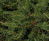 image of pine-needle  - Green pine tree needles on a bush - JPG