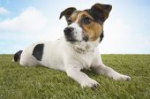 picture of jack russell terrier  - Jack Russell terrier lying in grass - JPG