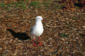 Pesky Seagull