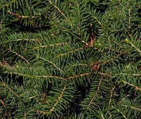 picture of pine-needle  - Green pine tree needles on a bush - JPG