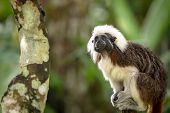 Cotton Top Tamarin Monkey, Saguinus Oedipus, Sitting In Natural Environment poster